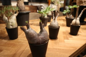 塊根植物 多肉植物