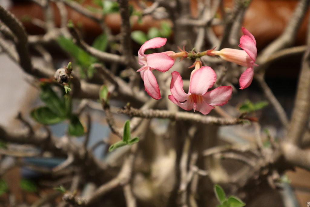 アデニウム 花