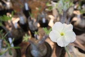 エブレネウム 花