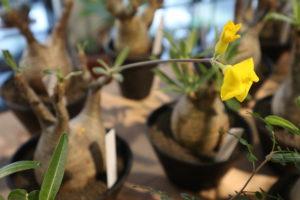 グラキリス 花