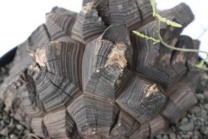 ブラック亀甲竜