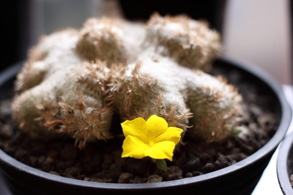 パキポディウム 花