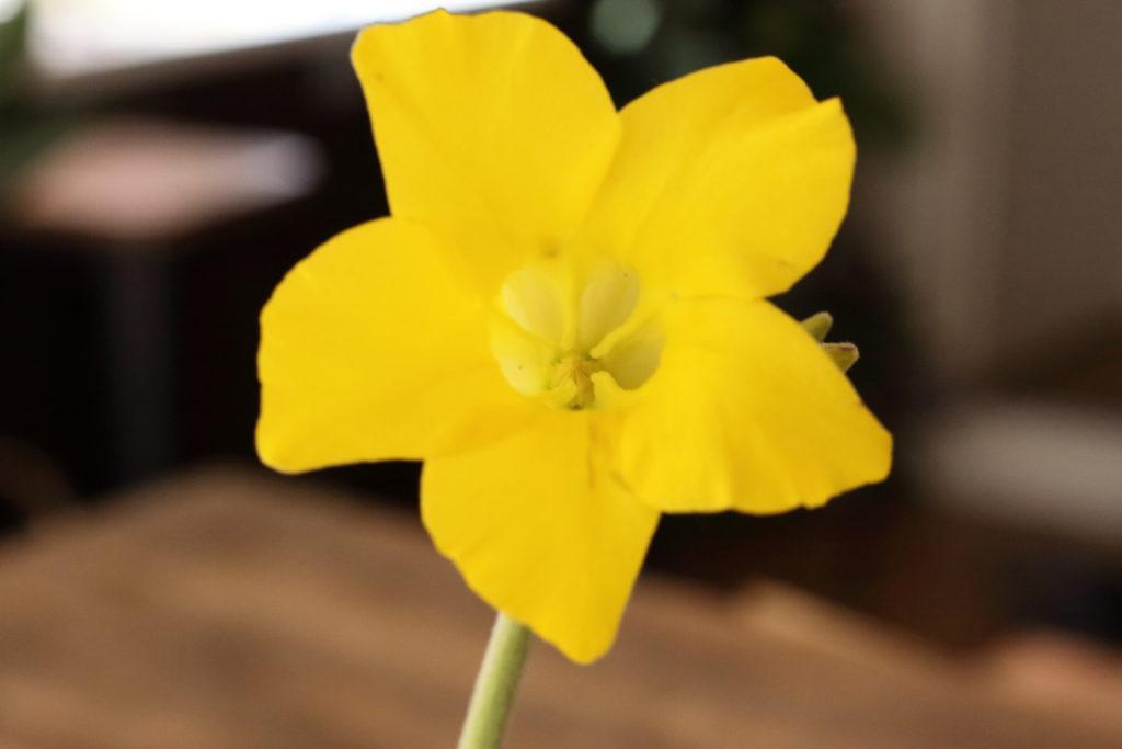 ホロンベンセ 花