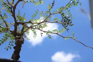 パキプス枝